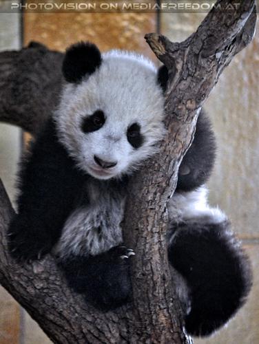 Kleiner großer Panda 23: Fu Bao