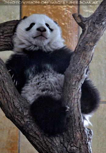 Kleiner großer Panda 24: Fu Bao