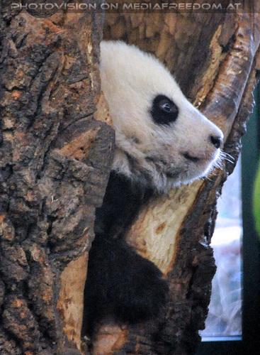 Kleiner großer Panda 01: Fu Bao
