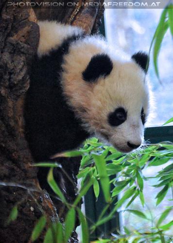 Kleiner großer Panda 03: Fu Bao