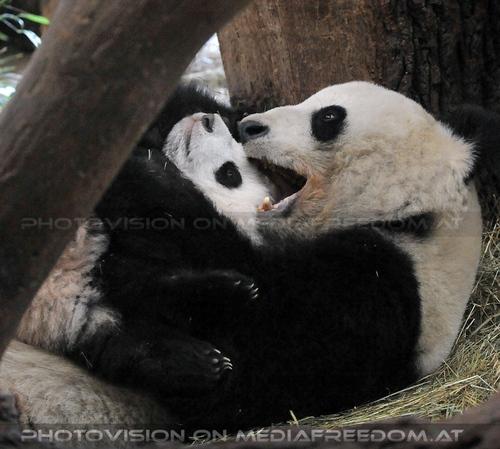 Fu Bao will spielen: Fu Bao, Yang Yang