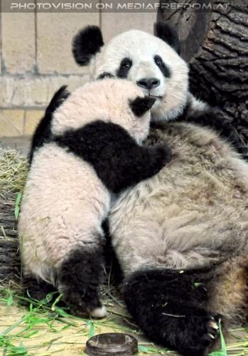 Panda Mama muss rasten: Fu Long,Yang Yang