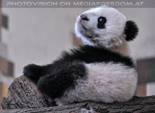 Kleiner großer Panda 10: Fu Bao