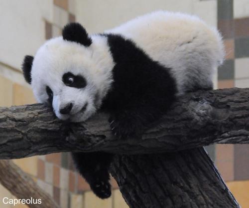 Kleiner Fu Hu 5: Fu Hu, Großer Panda