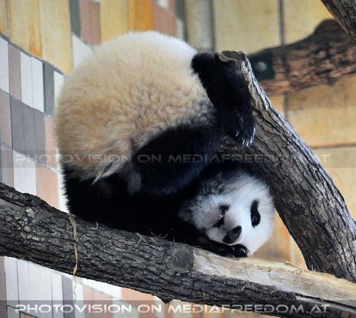 Fu Bao will spielen: Fu Bao