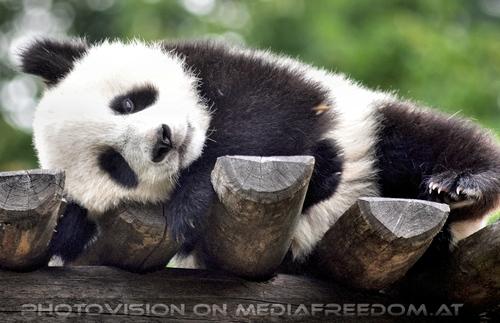 Großer kleiner Panda 9: Fu Long