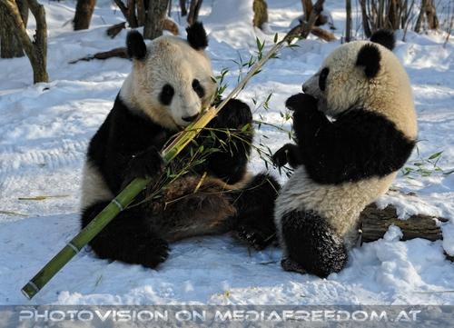 Große Panda Mahlzeit 11: Yang Yang,Fu Hu