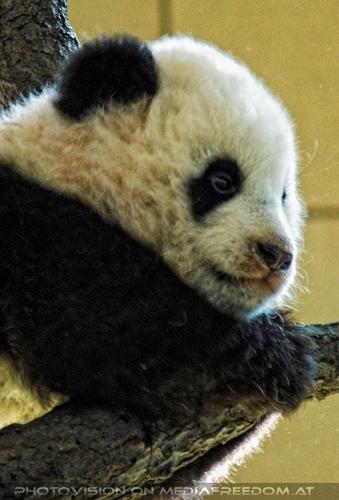Welcome Panda Fu Long 04