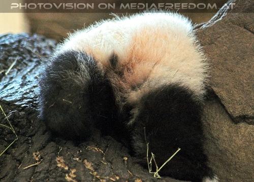 Welcome Panda Fu Long 17