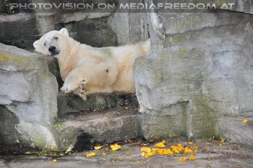Müde nach Kürbisspeise: Eisbär