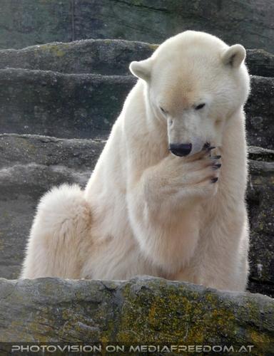 Eisbär Pflege