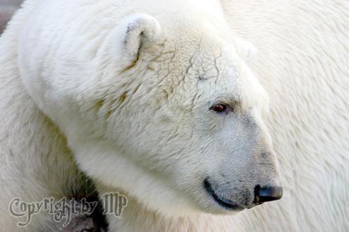 Eisbär: Eisbär