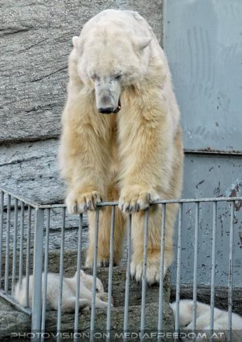 Eisbären Familie 06