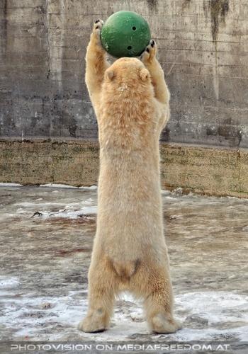 Eisbären im Schnee 11