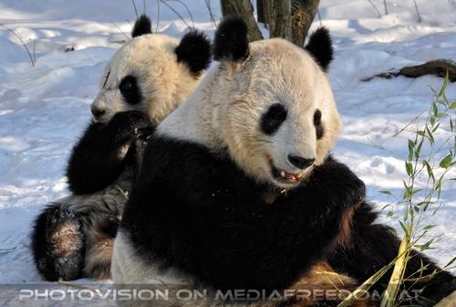 Große Panda Mahlzeit 02: Fu Hu,Yang Yang
