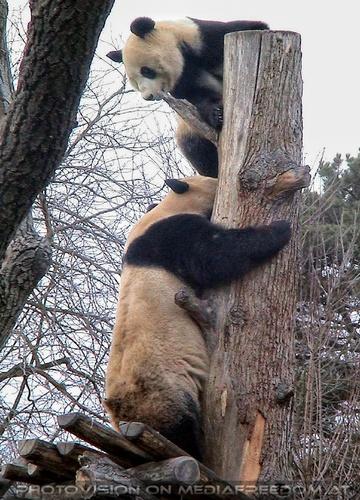 Große Pandas 4