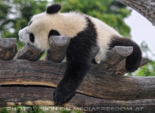 Großer kleiner Panda 11