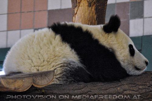 Großer kleiner Panda