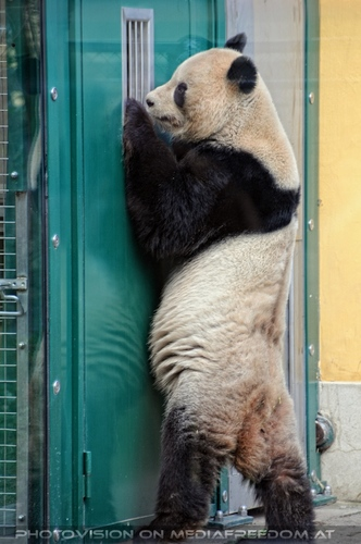 Großer Panda 13