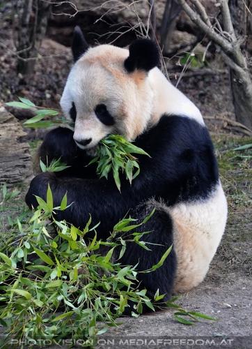 Beim speisen: Großer Panda