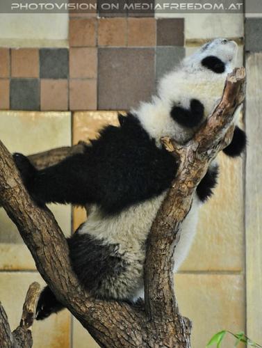 Babypanda: Großer Panda