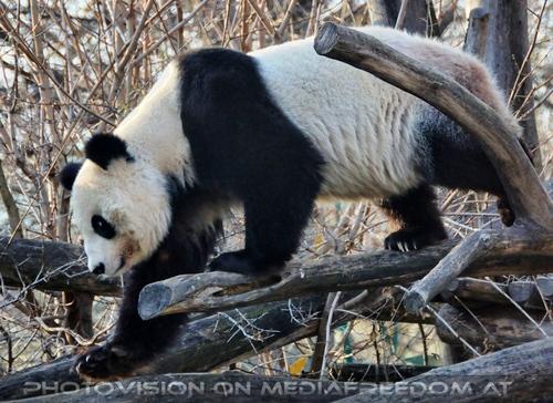 Bamkraxler: Großer Panda