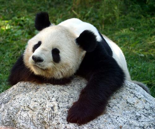Fotografen Posing: Großer Panda