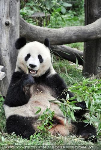 Großer Panda speist