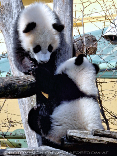 Kleine großer Pandas 02