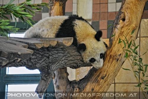 Kleiner großer Panda 1