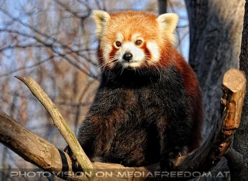 Rote Panda Fütterung 17