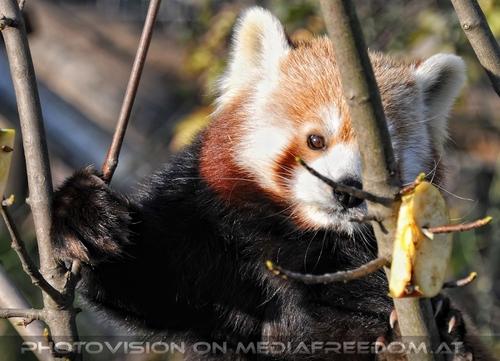Roter Panda 12