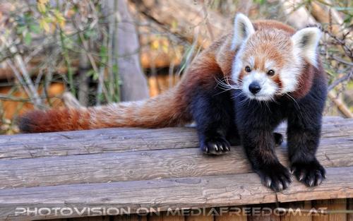 Roter Panda auf Futterhaus