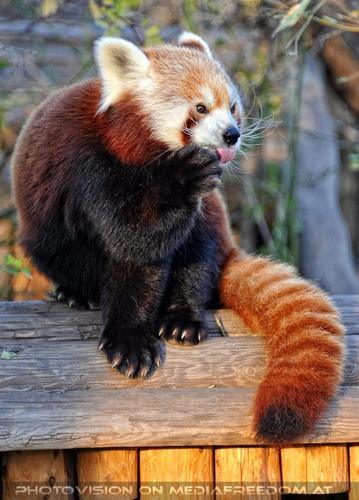 Lecker: Roter Panda
