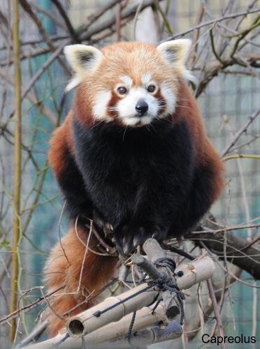 Mein Aussichtsplatz: Roter Panda