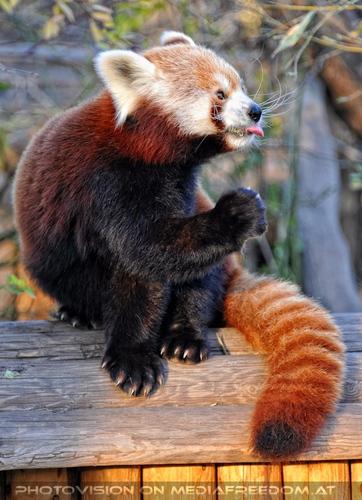 Zunge zeigen: Roter Panda