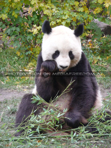 Panda Stärkung