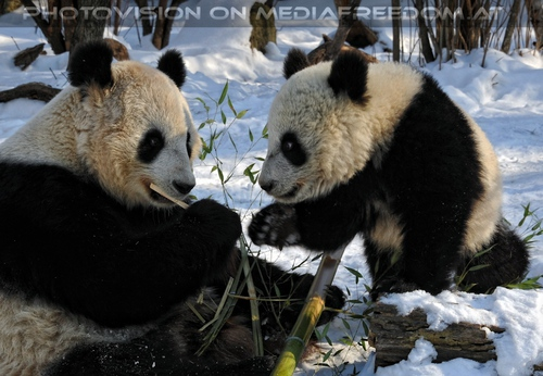 Große Panda Mahlzeit 05: Yang Yang,Fu Hu