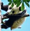 Pandababy hoch droben
