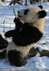 Große Panda Mahlzeit 12