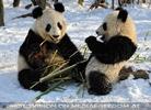 Große Panda Mahlzeit 18