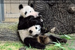 Schupf den kleinen Panda