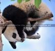 Pandababy als Artist