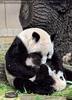 Großes Panda knuddeln