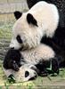 Mit Panda Mama spielen