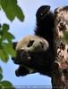 Pandababy ganz oben aufgewacht