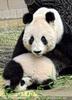 Panda Baby versteckt sich