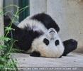 Pandababy noch müde