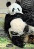 Panda Mama nimmt Baby zur Brust