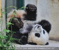 Pandababy streckt sich